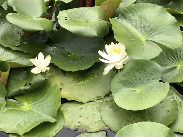 上尾丸山公園水芭蕉の写真