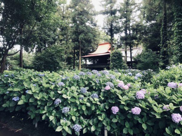 指扇氷川神社あじさいの写真